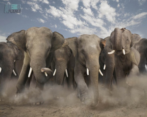 You are viewing a Elephants Wallpaper