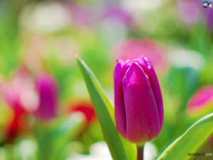Wallpapers / Flowers / Tulips