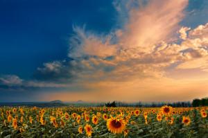 August evening | sunflower, sky, flowers, field