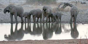 African Elephants Still