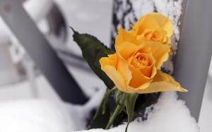 Yellow-Rose-with-snow-background-Template-for-writing-wishes-quotes ...