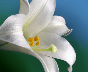 The Significance Of Easter Lilies And Other Blooms