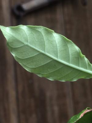 Re: psychotria viridis or psychotria alba?