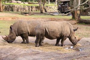 Disney-Animal-Kingdom-Rhinos-8027.jpg