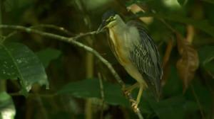 Striated Heron Washing Oneself Amazon Rainforest Amazonia Branch