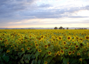 August-sunflowers off the causeway
