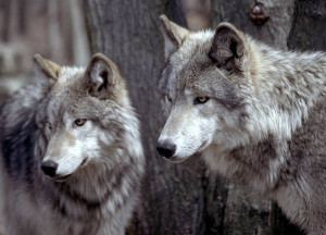 quotes about wolves the wolf is neither man s competitor nor his enemy ...