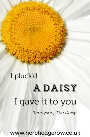 ... Daisy I gave it to you ~ Tennyson - The Daisy #herb #herbal #quote #