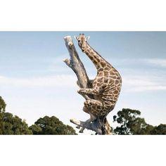 funny giraffe quotes Funny giraffe