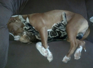 My sister's pit bull she rescued seems to get along well with her cat ...
