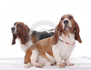 Basset Hound Dogs Wearing