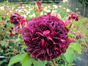 Englische Rose William Shakespeare 2000 ® Ausromeo ®