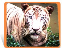 try and breed more white tigers in the USA (with normal orange tigers ...