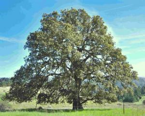 Oak, the axis mundi