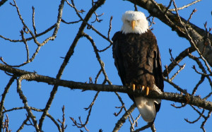 Homepage Eagle Bald Eagles