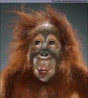 funny orangutan picture funny orangutan picture
