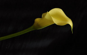 Calla Lily Yellow Iii