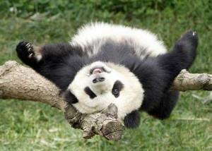 http://www.petsfoto.com/wp-content/uploads/2010/10/Funny-Panda6.jpg