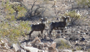 Desert Bighorn Sheep Field Judging 1