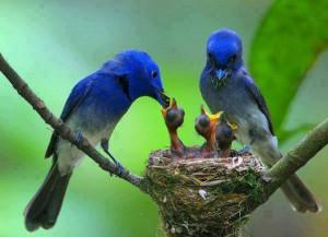 BIRDS FEEDING THEIR BABIES