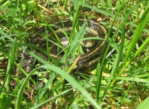 xwqeA1RnQ0GgR0bZd7us_snake_in_the_grass.jpg