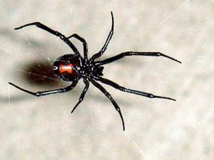Black Widow Spider Logos Black widow spider
