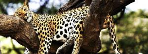Sleeping Cheetah Facebook Covers
