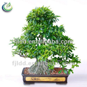 Large outdoor & style roots Ficus Bonsai trees
