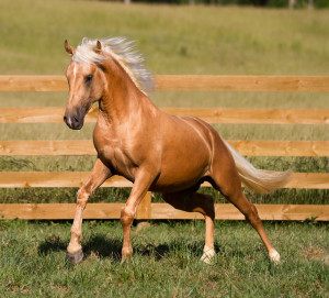 Golden Palomino Horses