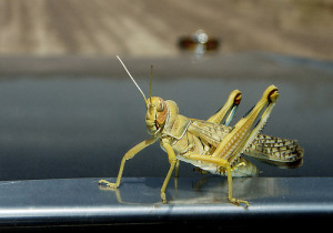 Acridophobia is an abnormal fear of grasshoppers and locusts.