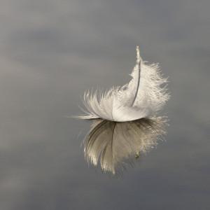 SU3601 : Swan feather on Hatchet Pond