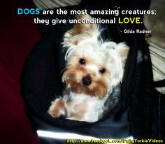 home images yorkie quotes yorkie quotes facebook twitter google+ ...