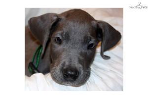 akc-blue--great-dane-puppydog-great-dane-puppy-0c8ea6c8-1125-4a2a-9928 ...