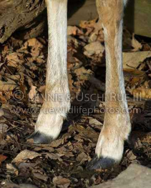 White-tailed-deer-front-feet,-hooves-and-dewclaws.