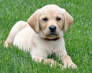 Information and Facts of Labrador Retriever :