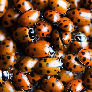 Ladybugs, lots & lots of ladybugs