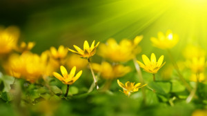 sunshine wallpapers flowers yellow flower 1920x1080 mrwallpaper.com