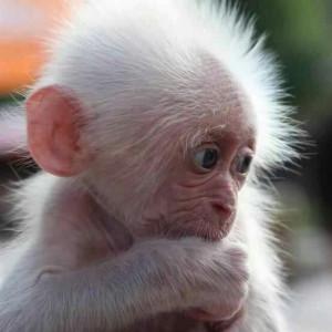 baby albino monkey. #cute
