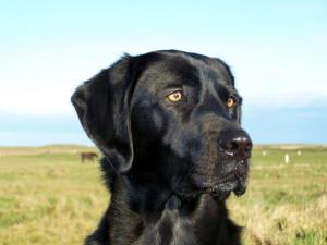 head size - Lab Dog Park - Black Labrador