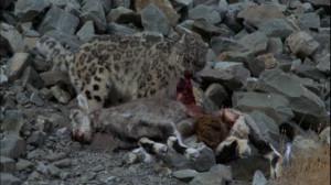 Snow Leopard Prey
