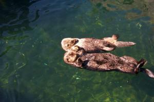 Description Sea Otters (Vancouver Aquarium).JPG