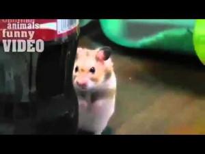 ... .net/videos/animals-funny-video-creepy-stalker-hamster