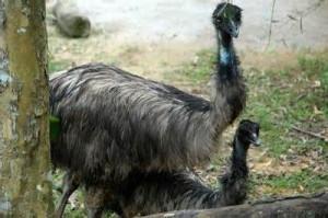 More on Dromaius baudinianus: Kangaroo Island Emu
