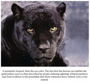 Sightings of Black Panthers in Texas Continue Unabated