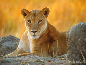 Amusing Lions ScreenSaver 3.1 Download
