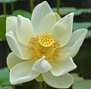 lotus flower has special significance in Hinduism, where its meaning ...