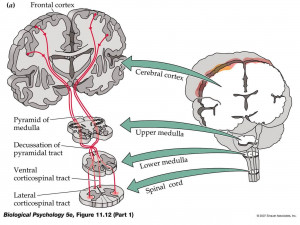 With Brain Stem And Spinal...