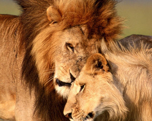 Lion and Lioness Love Google Themes
