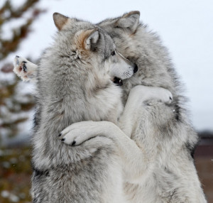 photography animals cute wolf playing wolves gray wolf