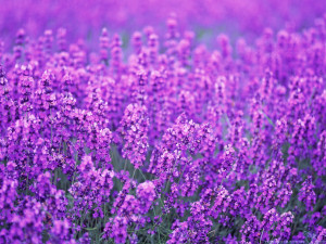 Lavender Flower Harvest Wallpaper